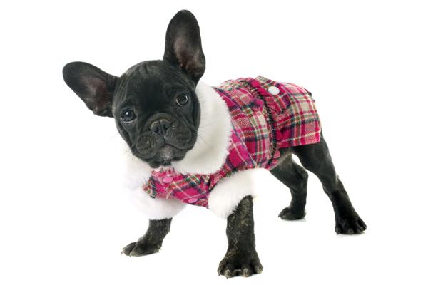 Französische Dogge mit kariertem Hundewintermantel