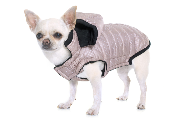 Chihuahua mit rosa Hundewintermantel