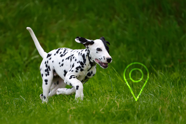 Ortung Dalmatiner Hund - Hundehalsband GPS